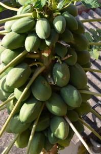 Papaia700